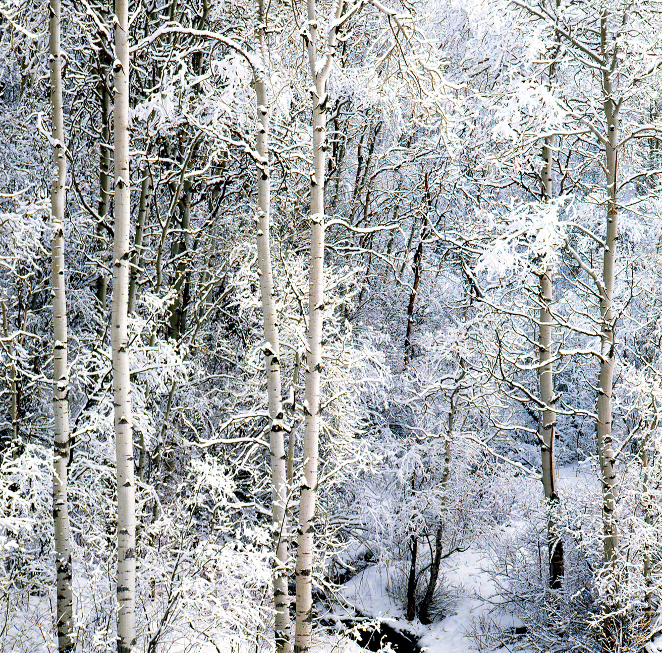Aspens-in-Snow