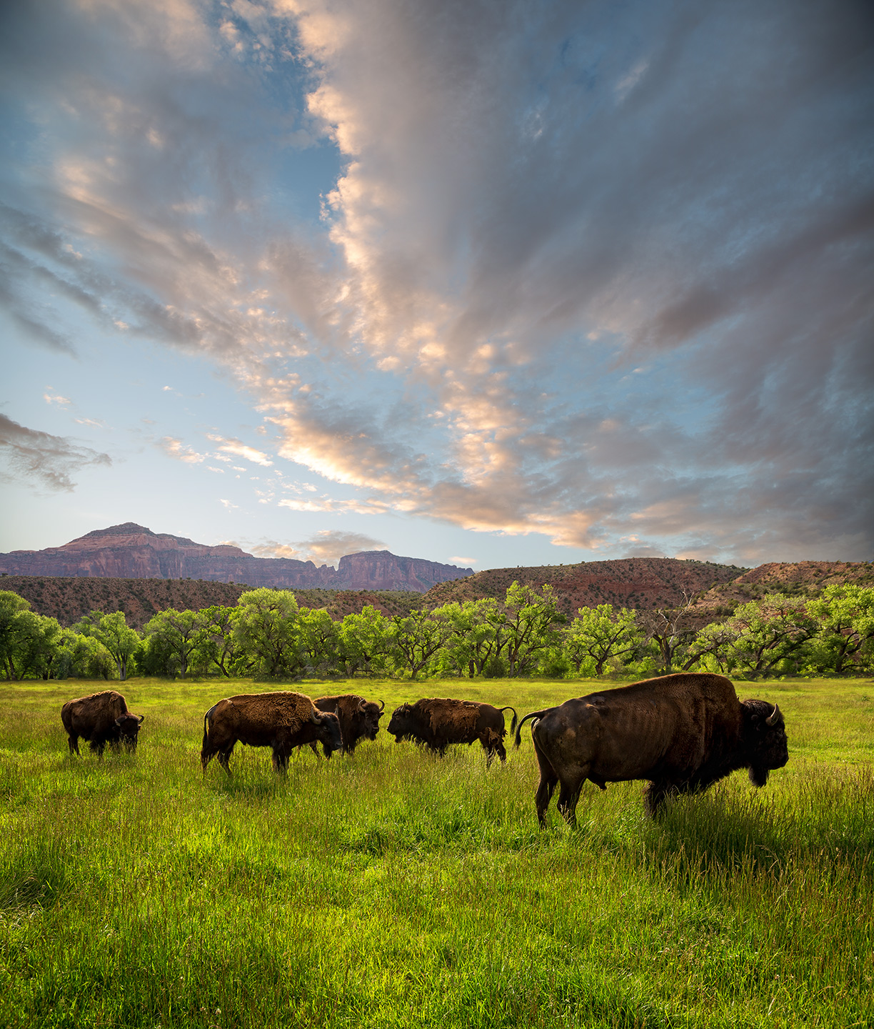 West-Creek-Bison-1-Edit-2